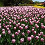 tulip-fest-2008-15
