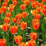 tulip-fest-2008-4