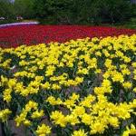 tulip-fest-2008-7