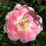 tulip-fest-2008-8