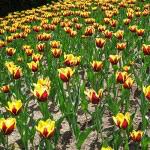 tulip-fest-2008-9