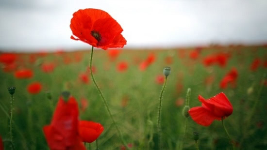 poppies-feature
